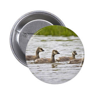 Cackling Canada goose goslings Pinback Buttons