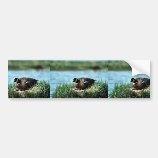 Cackling Canada goose on nest Bumper Sticker