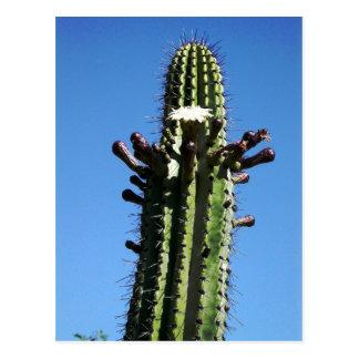 Cactus, Batopilas, Copper Canyon, Mexico Postcard