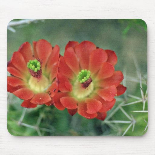 Cactus blooms in the spring Pink flowers Mouse Pad