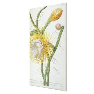 Cactus: Cereus, from Trew's 'Plantae Selectae' 175 Canvas Print