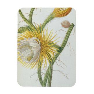 Cactus: Cereus, from Trew's 'Plantae Selectae' 175 Magnet