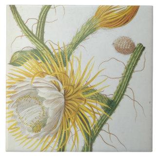 Cactus: Cereus, from Trew's 'Plantae Selectae' 175 Tile