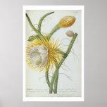 """Cactus: Cirio, Plantae Selectae"""" 175 de Trew de """" Impresiones"""