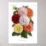 Cactus Dahlias Poster