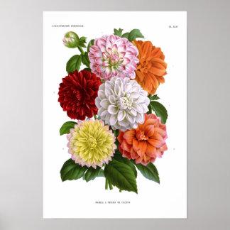 Cactus Dahlias Posters