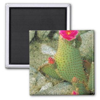 Cactus de Beavertail Iman De Frigorífico