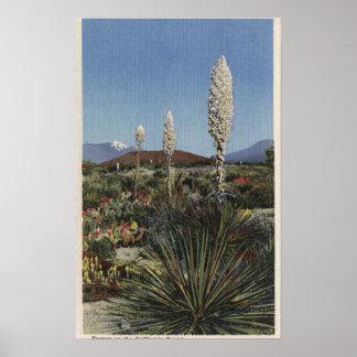 Cactus de CaliforniaYucca en la floración en desie Posters