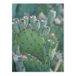 Cactus de la paleta postal