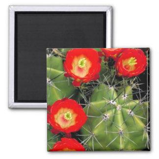 Cactus de la taza de clarete imanes de nevera