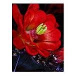 Cactus de la taza de clarete (triglochidiatus del  tarjetas postales