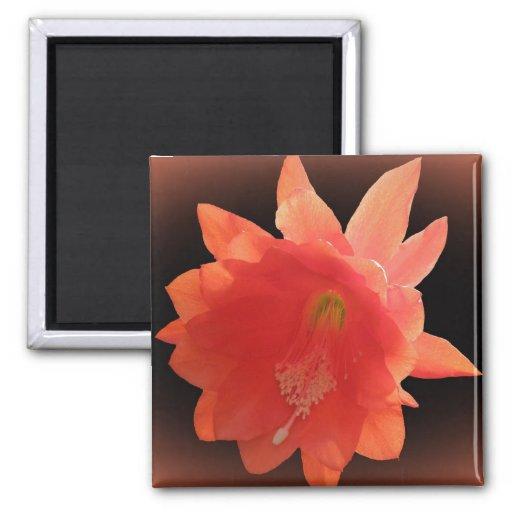 Cactus de orquídea - Epiphyllum Ackermannii - flor Imán Para Frigorífico