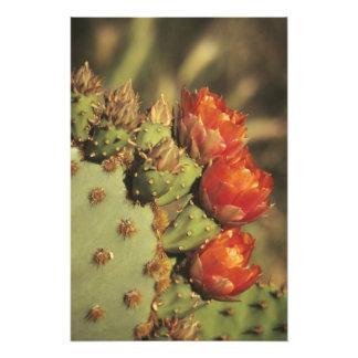 Cactus del higo chumbo en la floración, Arizona-So Cojinete