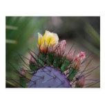 Cactus del higo chumbo tarjetas postales