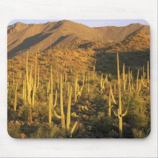 Cactus del Saguaro en parque nacional de Saguaro c Alfombrilla De Ratones