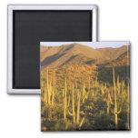Cactus del Saguaro en parque nacional de Saguaro c Imán Cuadrado