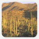 Cactus del Saguaro en parque nacional de Saguaro c Colcomanias Cuadradas