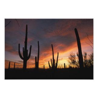 cactus del saguaro, gigantea del Carnegiea, despué Fotografía