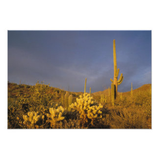cactus del saguaro, gigantea del Carnegiea, y pelu Cojinete