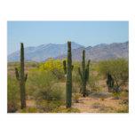 Cactus del Saguaro Postales