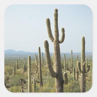 Cactus en el parque nacional de Saguaro, Arizona 2 Calcomanía Cuadradas Personalizada