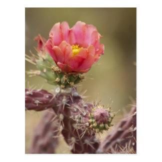 Cactus floreciente de Cholla Tarjetas Postales