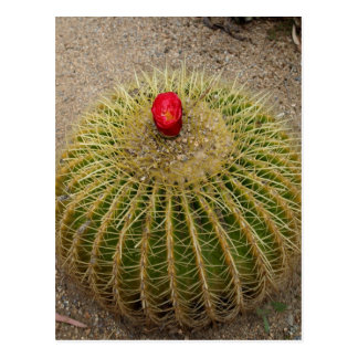 Cactus floreciente rojo tarjeta postal