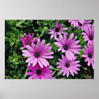 Cactus, flores de Osteospermum Poster