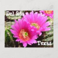 Cactus flower Del Rio Texas Postcard