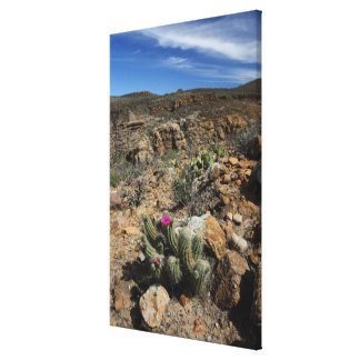 Cactus Flowering Canvas Print