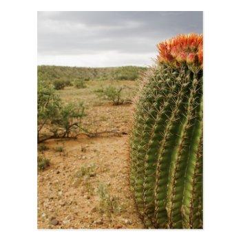 Cactus Flowers 007 Postcard