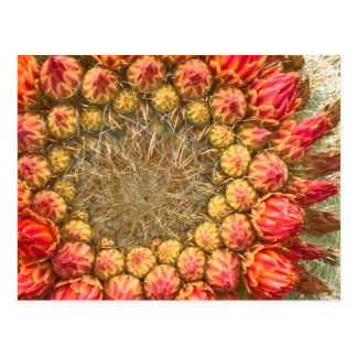Cactus Flowers 016a Post Card