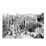 Cactus Forest in Black and White Post Card