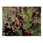 Cactus fructífero del higo chumbo, desierto de Son Tarjetas Postales