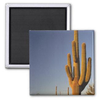 Cactus gigante de Seguaro, nacional del tubo de ór Imán Cuadrado