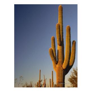 Cactus gigante de Seguaro, nacional del tubo de Postales