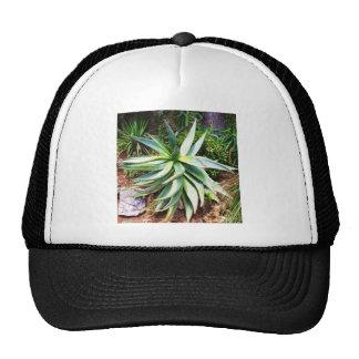 Cactus mediterráneo que crece a lo largo de costa gorras