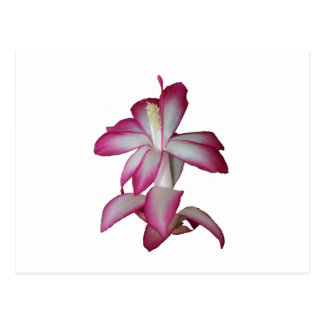 Cactus pink and white flower, succulent bloom postcards