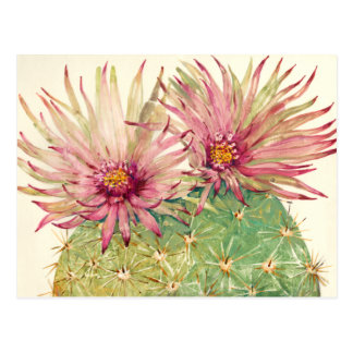 Cactus Pink Blossoms Postcard