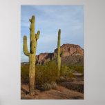 Cactus Póster