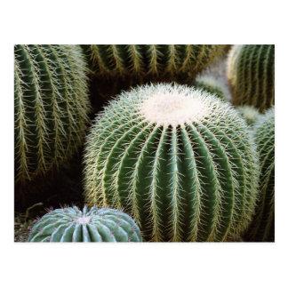Cactus redondos tarjeta postal