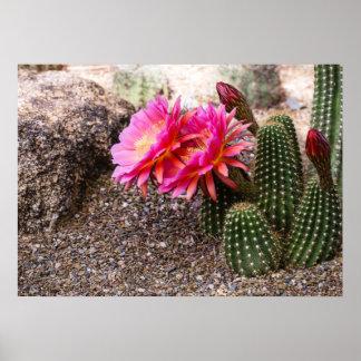 Cactus rosado de Echinopsis en la floración - post Impresiones