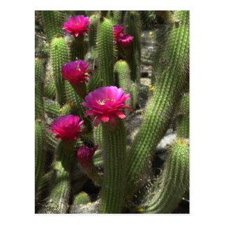 Cactus rosado de la antorcha postal