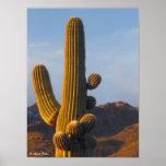Cactus Sunlit del Saguaro - impresión de la lona Posters