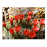 Cactus with Beautiful Red Blooms Post Card