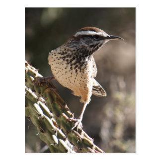 Cactus Wren Postcard