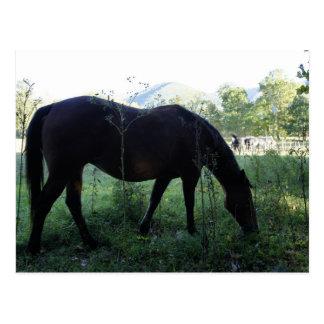 Cades Horse Postcard