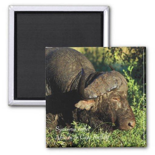Caffer de Syncerus del africano del búfalo Iman De Frigorífico