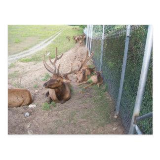 caged deer elk reindeer postcard
