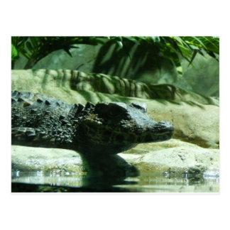 caiman alligator postcard